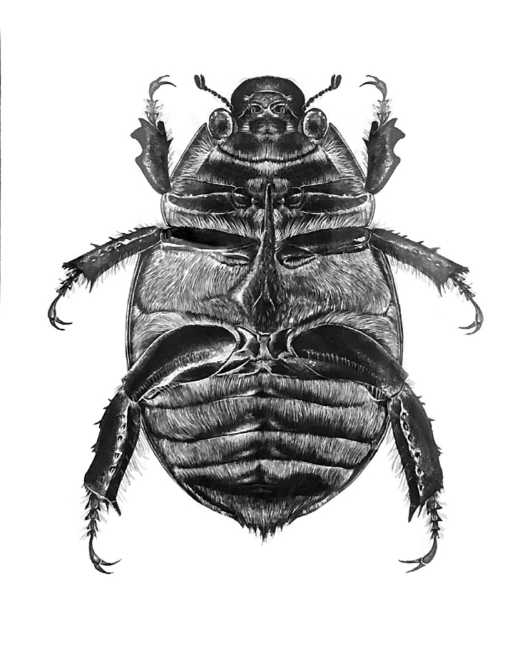 Scraperboard illustration of a Christmas Beetle by artist Tina Wilson