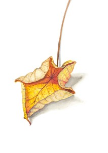 Watercolour painting of a leaf shaped like a star by Tina Wilson