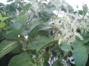 Plante à jaune dont je ne connais pas le nom, courante à Puerto Montt, fleurs