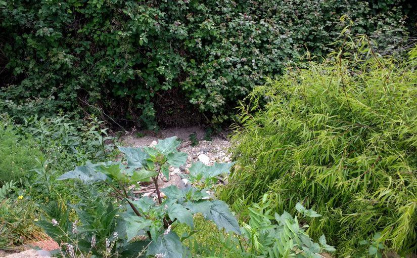Mauvaises herbes - Datura, plante bioindicatrice, très toxique et halucinogène