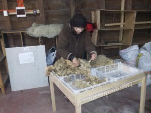 Entrain de sélectionner la laine pour la laver avant de la teindre en toison pour la carder