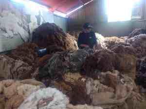Poste de sélection des laines d'alpaga, selon les 24 couleurs naturelles et leur qualité, Fabrique de laine, Arequipa, Pérou