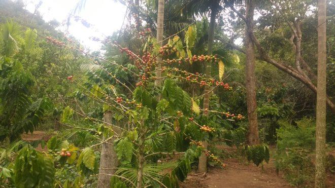 Caféier au premier plan, entre des palmiers et d'autres arbres qui lui fournisse de l'ombre, Brésil