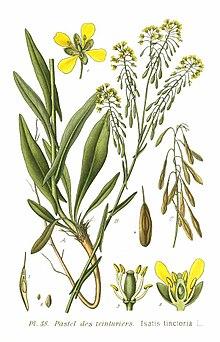 Isatis tinctoria, Pastel ou Guède, fait partie des anciens végétaux voyageurs - Source Wikipedia