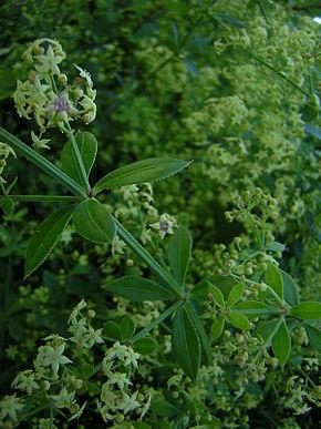 Garance voyageuse, végétal tinctorial sauvage, mais exploitée en teinture naturelle - Source Wikipedia