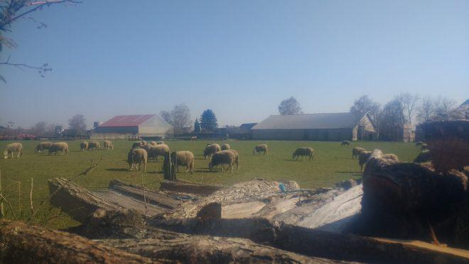 C'est le printemps, les brebis sortent de la bergerie