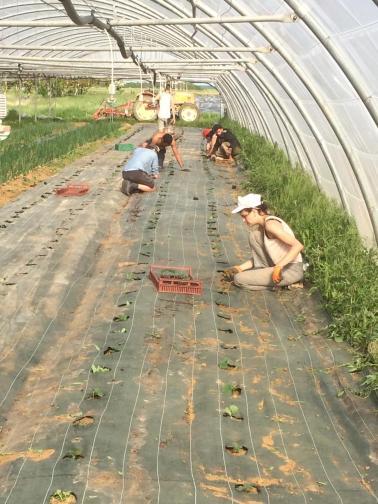 Plantation de concombres sur bâche tissée en serre
