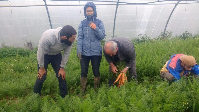 Récolte de carrottes avec des Amapiens
