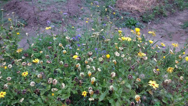 Ces fleurs mellifères font aussi leur apport à l'économie néolithique où le miel, principale source de sucre, était fort apprécié