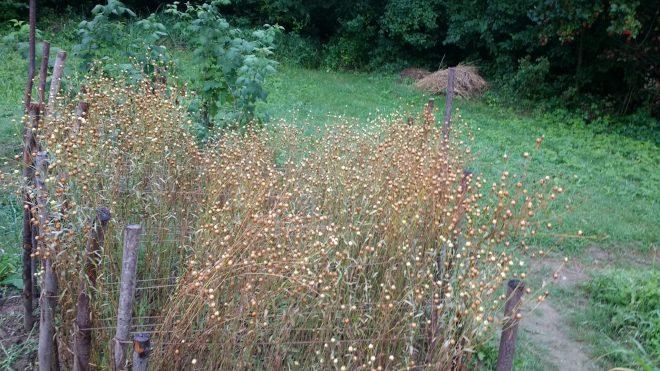 Voici le lin déjà en graines, il va falloir le récolter vite