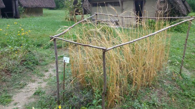 Céréales anciennes au jardin du Village Lacustre