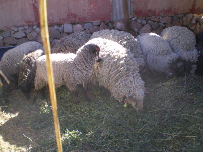 moutons de Parca