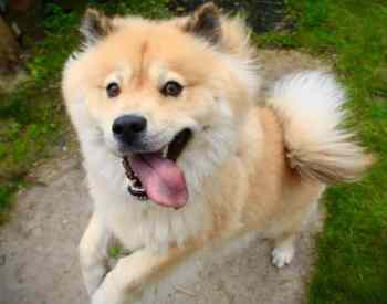 The Chow Chow Husky Mix Is A Fluffy Ball of Adorable But Is It For You?