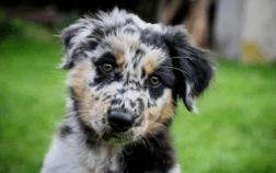Australian Shepherd Blue Heeler Mix