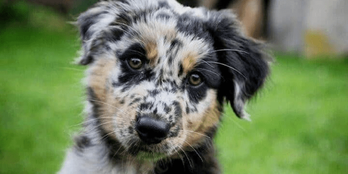 Australian Shepherd Blue Heeler Mix