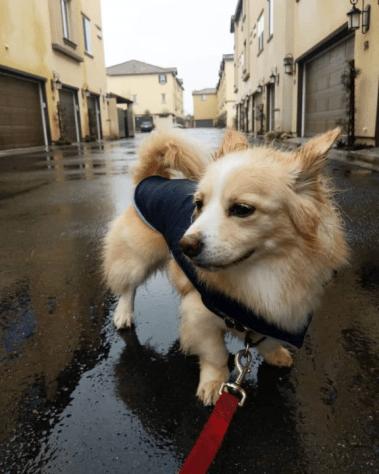 CorgiPom Puppies: Corgi Pomeranian Mix - Squat And Spunky And Full Of Fun 10 CorgiPom Puppies: Corgi Pomeranian Mix - Squat And Spunky And Full Of Fun
