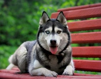 The Gerberian Shepsky: Combining The World's Most Popular Pooches