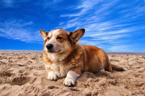 CorgiPom Puppies: Corgi Pomeranian Mix - Squat And Spunky And Full Of Fun 11 CorgiPom Puppies: Corgi Pomeranian Mix - Squat And Spunky And Full Of Fun