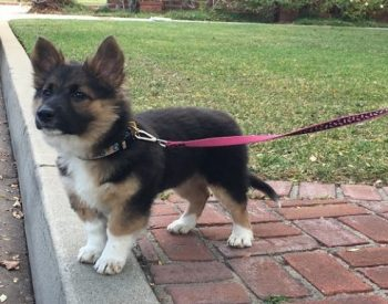 The Corgi German Shepherd Mix: A Surprisingly Adorable Mix