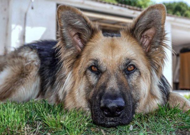 The Corgi German Shepherd Mix: A Surprisingly Adorable Mix 2 The Corgi German Shepherd Mix: A Surprisingly Adorable Mix