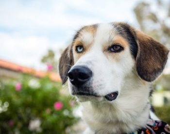 Everything You Need To Know About The Charming Australian Shepherd Beagle Mix