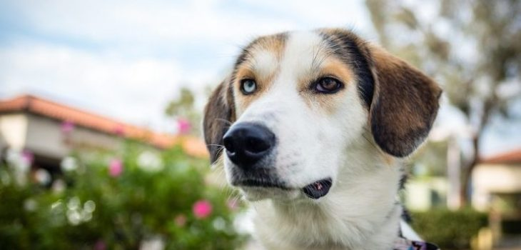 Australian Shepherd Beagle Mix-