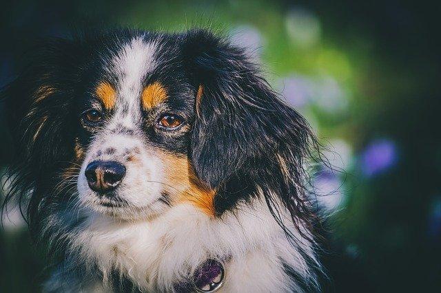 Australian Shepherd Beagle Mix-