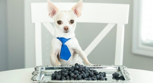 Blueberries For Dogs