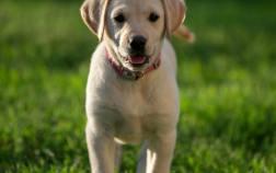 Goldador Puppy
