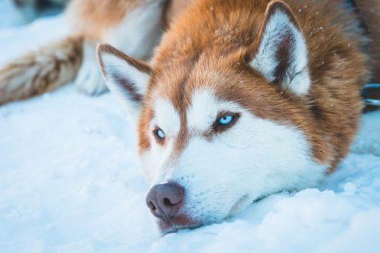 red husky