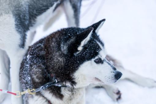 Goberian 101: The Golden Retriever & Siberian Husky Mix 4 Goberian 101: The Golden Retriever & Siberian Husky Mix