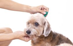 Administer Flea Treatments For Dogs