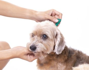 How To Administer Flea Treatments For Dogs