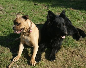 Origins Of The Bully Breeds: The Proud And Powerful Bullenbeisser