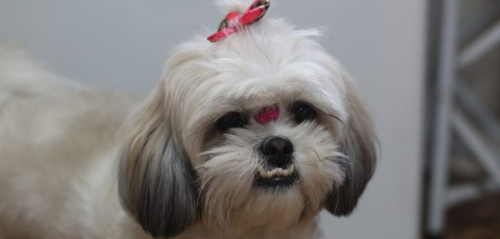 pet, shih tzu, dog