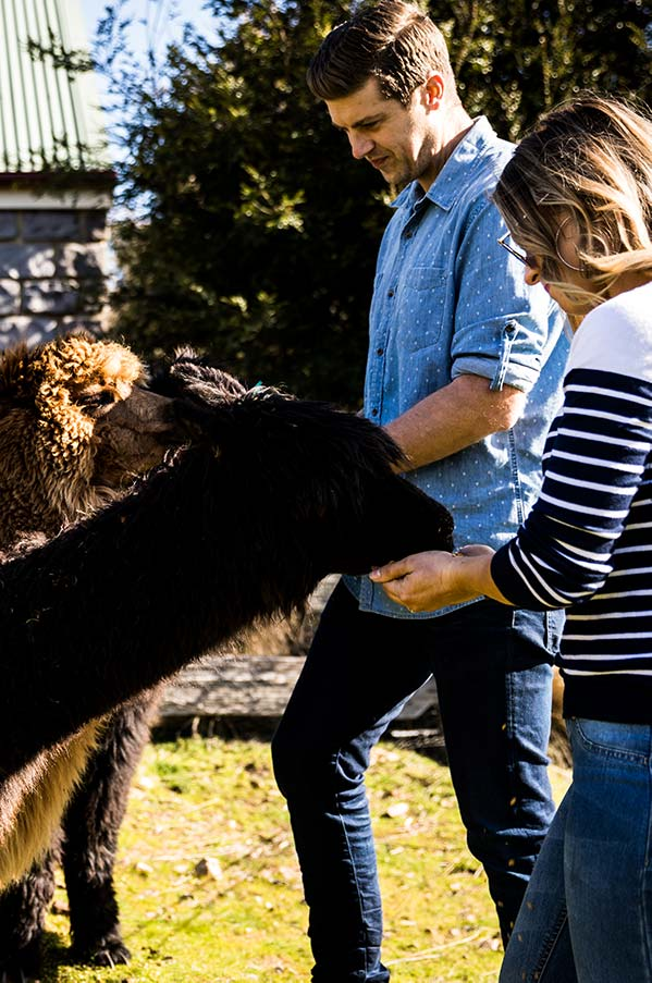 Two guests feeding the alpacas at the Tin Dragon Cottages Farmstay.