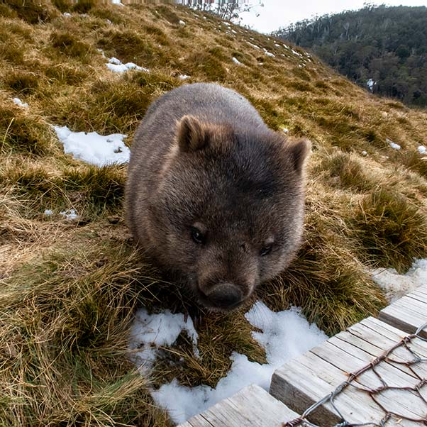 A wombat facing the camera is near a boardwalk and a patch of snow, on a short walk at Cradle Mountain National park.