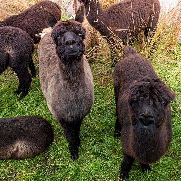 Six black alpacas seen from above as they wait to be shorn.