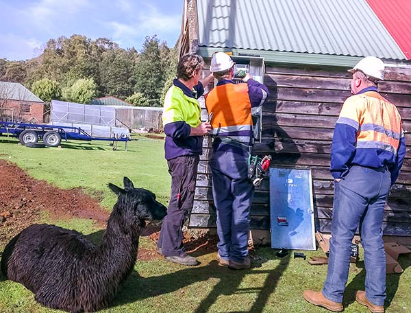 A black alpaca is sitting next to the technicians working on the power meter box.