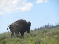 Bison (also Buffalo)