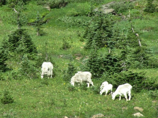 Mountain goats. Looks like someone had a fight with the trimmer! lol