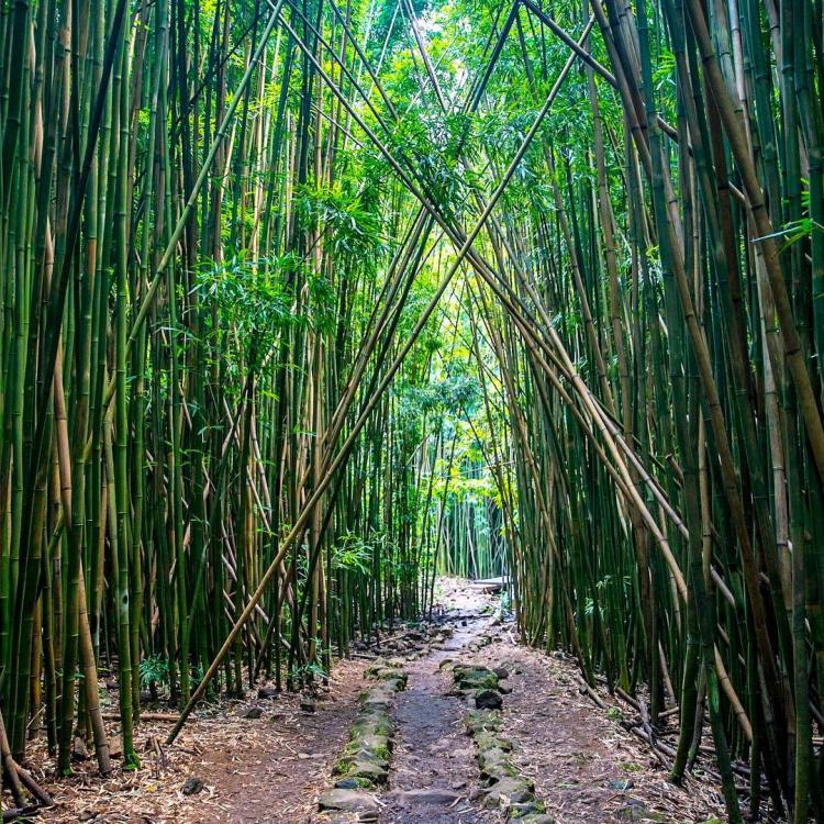 Hiking through a bamboo forest in Pipiwai Trail at the Haleakala National Park. Bug spray recommended, Pipiwai Trail,