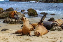 Seals lounging at La Jolla Cove, San Diego