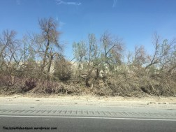 Destroyed trees along the way to La Quinta - we think maybe they are meant to be some sort of sand barrier?