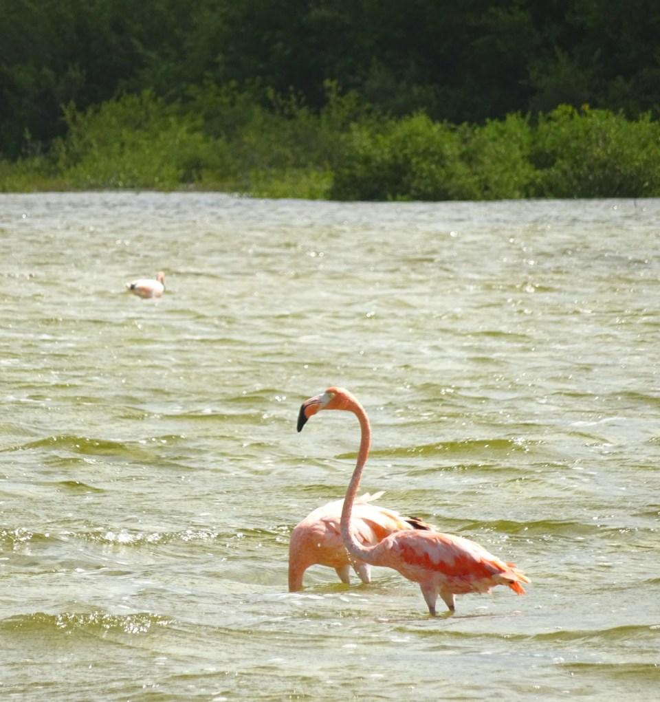 Flamingos auf Cayo Coco