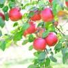 りんご病が流行りだしている-妊婦さんは注意を!