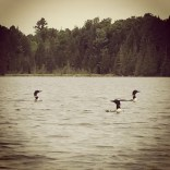 There is a family of at least six loons that live on the lake.  You can hear their haunting calls at all hours.
