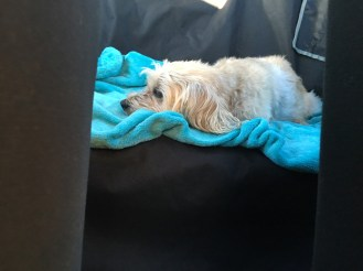Toby snoozing on the way home