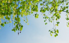 Nature___Seasons___Spring_Birch_in_spring_068230_