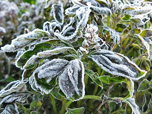 Frozen leaves may look pretty, but farmers hate them
